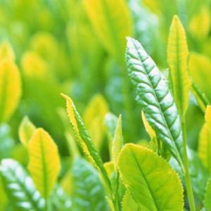 זרעי צמח תה סיני ירוק (5 זרעים)