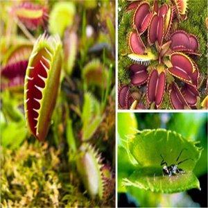 40 זרעי צמח טורף